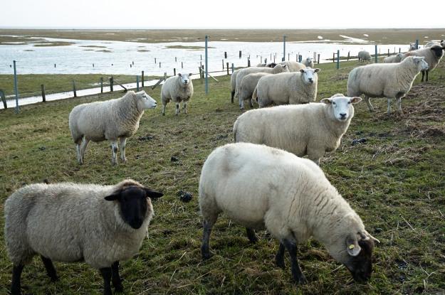Landunter kurz vor Weihnachten. Die Schafe verbringen zwei Tage auf dem Deich und vergnügen sich mit  Heu und Futter.
