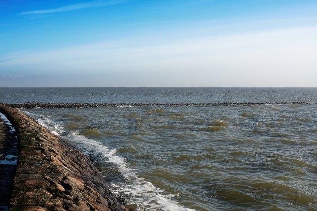An der Halligkante sammelt sich bei Flut ein großer Schwarm Austernfischer.